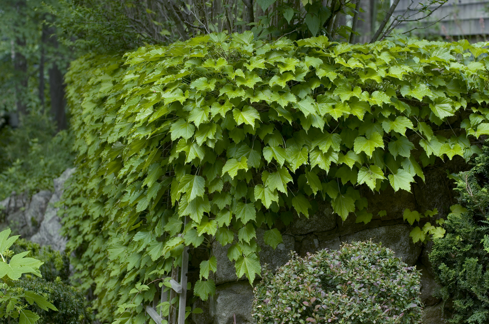 Boston Ivy, a Vine to Cover any Wall- American Gardening